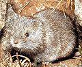Microtus nivalis.jpg