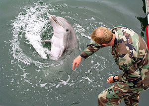 Bottlenose dolphin - Bottlenose dolphin responding to human hand gestures.