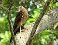Milvago chimachima (Pigua) - Casi adulto (14413656600).jpg