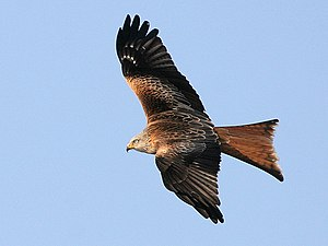 Image shows a Red Kite (Milvus milvus).