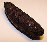 Mimas tiliae (pupa).JPG