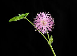 Mimosa pudica (Mimose)