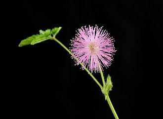 Mimosa pudica - Flower