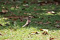 Mimus saturninus (30579604032).jpg