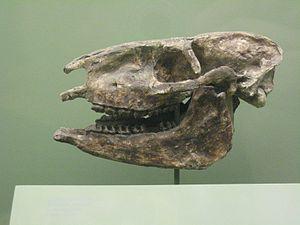 Miohippus - Miohippus Fossil skull