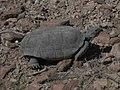 Mojave Desert Tortoise (Gopherus agassizii) (6012501810).jpg