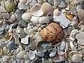 Mollusc shells on marine beach (Cayo Costa Island, Florida, USA) 13 (24219354062).jpg
