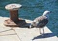 Molly Gull (5963747441).jpg