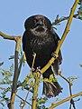 Molothrus aeneus -Tucson, Arizona, USA-8 (4).jpg