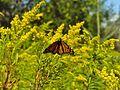 Monarch (Danaus plexippus) (7580712026).jpg
