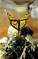 Monarch Butterfly Taxidermy 09.jpg