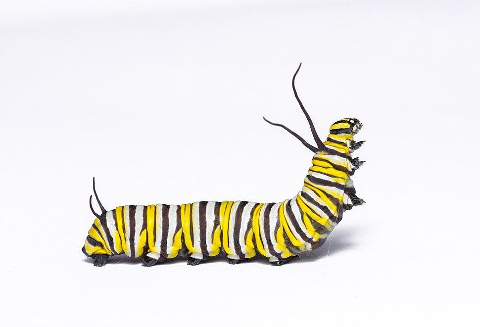 Monarch caterpillar 3 (42248005090)