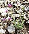 Monardella odoratissima ssp pallida 1.jpg