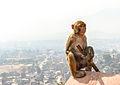 Monkey atop Swayambhu (12654016324).jpg