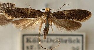 <i>Monopis laevigella</i> Species of moth