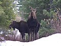 Moose ODFW flickr CC.JPG