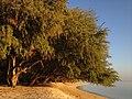 Morning Tree Kiss.JPG