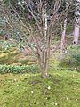 Moss Garden in Jishoji (Ginkakuji) Temple 5.jpg