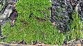 Moss on pine tree 5.jpg