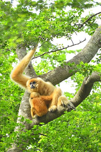 Northern white-cheeked gibbon - Image: Mother and offspring on the branch