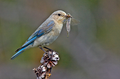 Mountain Bluebird female.png