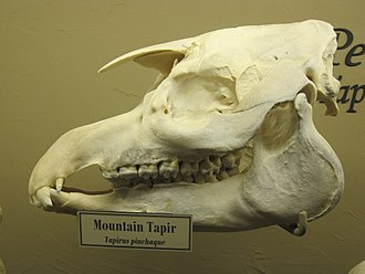 Mountain tapir - Mountain tapir skull on display at the Museum of Osteology