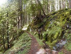 Temperate rain forest in the Mount Hood Wilderness, Oregon, United States. This area, on the west side of the mountain, receives over 2.5 meters of rain per year.
