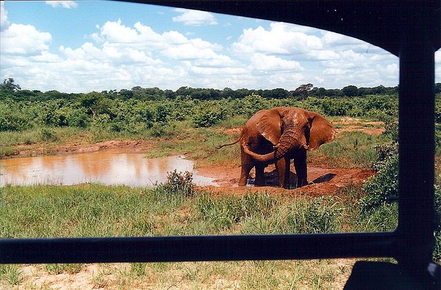 Animals can be viewed in their native or similar environments, from vehicles or on foot. This elephant in Hwange National Park, Zimbabwe, was quite undisturbed by the people and vehicle.