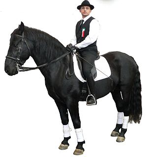 Murgese Breed of horse