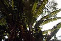 Musa zebrina 2zz.jpg