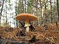 Mushroom - panoramio (4).jpg
