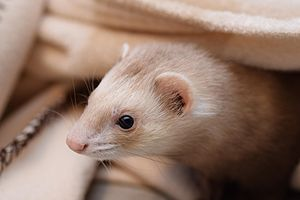 Ferret - Ferret profile