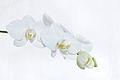 Nachtfalter Orchidee, Phalaenopsis 13.JPG