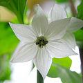 Naga Bhut Jolokia kwiat (sześciopłatkowy).jpg