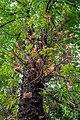 Naglingam Tree.jpg