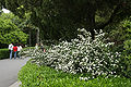 NanjingNormalUniversity whiteFlower1.jpg