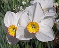Narcissus 'Actaea'.jpg
