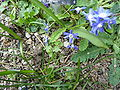 Narcissus willkommii (Amaryllidaceae) plant.jpg