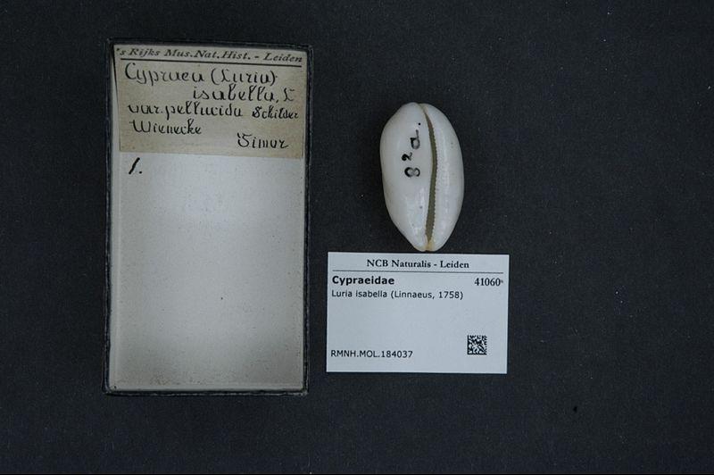 File:Naturalis Biodiversity Center - RMNH.MOL.184037 - Luria isabella (Linnaeus, 1758) - Cypraeidae - Mollusc shell.jpeg