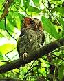 Negros Scops Owl, Liptong, Valencia, Negros Oriental.jpg
