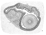 "Illustrated dissection of the mussel Lampsilis, showing the crystalline style (""st"") in cross-section"
