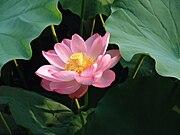 Lotusrot