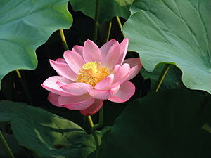Padma (attribute) - Sacred Lotus