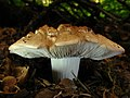 Neolentinus ponderosus (O.K. Mill.) Redhead & Ginns 441835.jpg