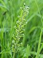 Neottia ovata (flowers).jpg
