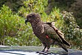 Nestor notabilis -Arthurs Pass, South Island, New Zealand-8.jpg