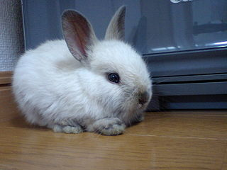 Dwarf rabbit rabbit breed