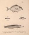 Neue Wirbelthiere zu der Fauna von Abyssinien gehörig (1835) Gazza minuta +Petroscirtes ancylodon + Enneapterygius pusillus & Cheilio inermis.png