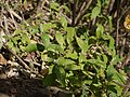 Neuracanthus tetragonostachyus Nees subsp. trinervius (Wight) Bidgood (6431481353).jpg