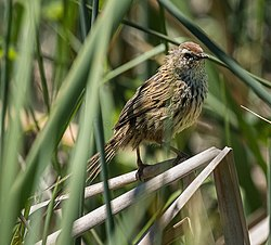 New Zealand Fernbird - New Zealand (39254373902).jpg